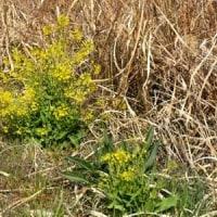 枯れたオギを背景にアブラナの黄色い花