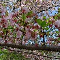 湯の町暮らしに 葉ざくらを惜しみ 草花を惜しみて春の酣を歩く