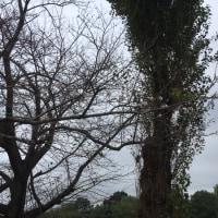 ドヨレンと桜