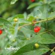 「紅花瓢箪木の実が生りました」 MY GARDEN 2017.07.18撮影