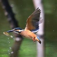 近所の池・・・今日のカワセミ、久しぶりの池!