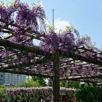 亀戸天神藤まつり開催中(4月24日)