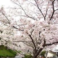 花曇り、でも桜見してきました