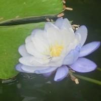 京都府立植物園・モンキーオーキッド