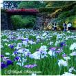 花菖蒲と紫陽花の風景