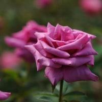 5月28日は薔薇の香りに包まれてください。