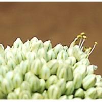 次年度 栽培用 ・・・ 今年 採種用 の 葱坊主 の 定点観測