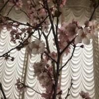 早咲き桜のお裾分けさくら🌸