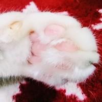 2月22日(水)のつぶやき 冬場ニャので、肉球まわりが毛むくじゃら(ФωФ)/ #猫の日 #ネコの日 #cat #白猫 #肉球