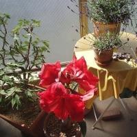 鮮やかに咲いたアマリリス