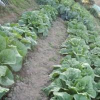 おじんでいのぉ畑 白菜、キャベツ、大根、どうにか育ってる
