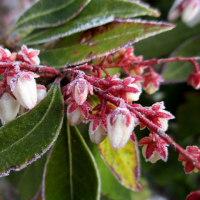 馬酔木の花に霜
