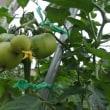 5月15日に植えたトマト苗が実をつけた