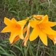 Blumen – Sarobetsu-Ebene