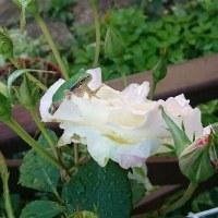 ケロたんはバラが好き