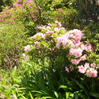 今年は桜も凄かったがツツジも凄い。花が大きくて数も多いのにびっくり。
