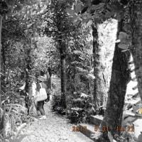 奇跡的に残ったフクギの木々(普天間で)