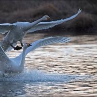 夕暮れ時の白鳥