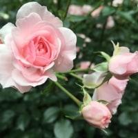 薔薇・バラ・ばら