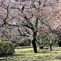 今日の野鳥   河津桜とメジロ・シメ・アカハラ