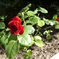 薔薇が咲いた!!