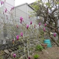 「木蓮(もくれん)」がきれいに咲き始めました。・・・いわき
