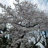 〇〇記念日に桜まつりへ!