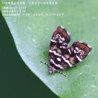 イヌビワシギゾウムシ