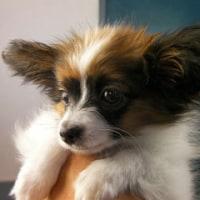 パピヨンの仔犬