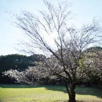 桜 咲く   2016-10-24なう