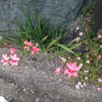 庭の野草、雑草 1