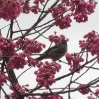 春の訪れ…一足早く!「カンヒザクラ」が満開です。