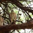 木の上では、ツミの幼鳥たちがとまっていたよ。