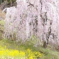 満開の桜・・・河津桜!?