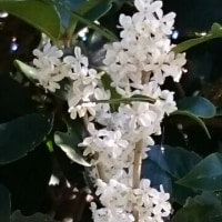 銀モクセイ、花盛り、