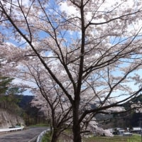 まだ、楽しめる「桜」