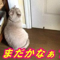 待つ猫:お母ちゃん大阪出張【猫日記こむぎ&だいず】2017.02.17