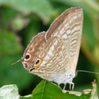 蝶・蛾の祖先という「生きた化石」だって!?