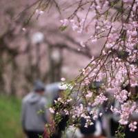 枝垂れ桜の参道