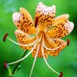 コオニユリ Lilium leichtlinii