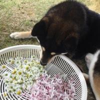 カモミールとジャスミンを収穫しました♪