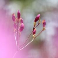 4月の花 ミツバツツジ 2