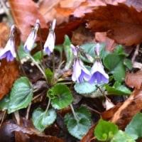 雨にぬれたタチツボスミレの花が並んで