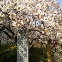 仁和寺~おむろ桜満開~