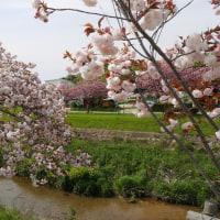 桜吹雪八重桜