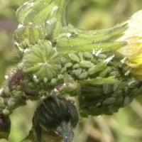 ノゲシの花にアブラムシがいっぱい
