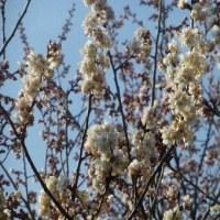 桜が見ていた