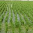 稲を植えてから約1ヵ月