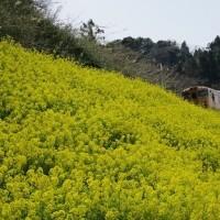 双海の菜の花とJR伊予灘ものがたり