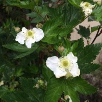 梶いちごの花